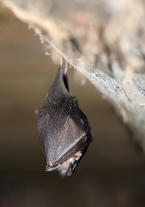 Horseshoe Bat Hanging in Cave